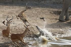 Linh dương suýt chết trong miệng sát thủ đầm lầy