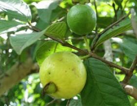 Mùa này, bà nội trợ nên mua trái cây nào ít độc?
