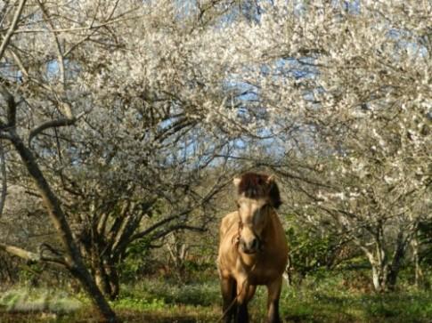 Mộc Châu trắng buốt mùa hoa mơ