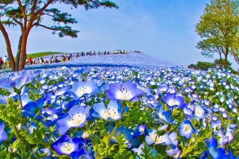 Vẻ đẹp mê hoặc của 'cánh đồng hoa' Nemophila ở Nhật