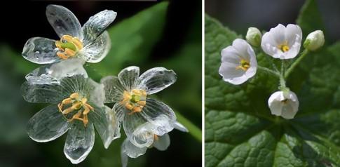 Ngỡ ngàng loài hoa nở trong suốt khi trời mưa