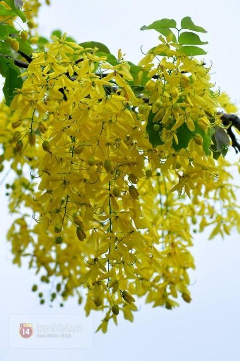 Chùm ảnh: Muồng hoàng yến vàng rực giữa trời hè Hà Nội