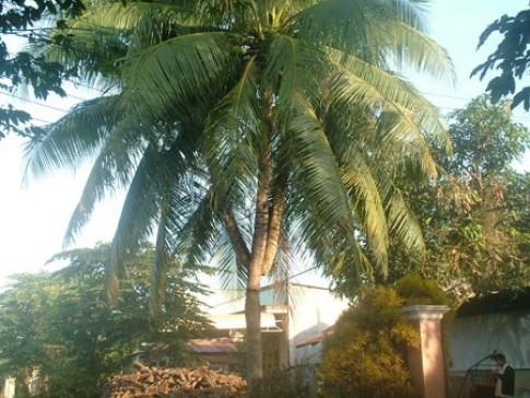 Chuyên gia Đông y nói gì về dừa ba ngọn chữa bách bệnh trị giá 1 triệu USD?