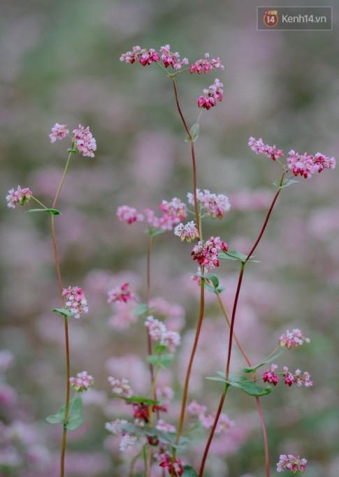 Lặng người trước cánh đồng hoa tam giác mạch đẹp đến mê mẩn ở Hà Giang