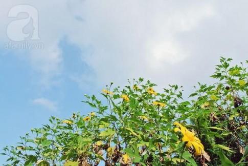 Lên vườn Quốc gia Ba Vì ngắm hoa dã quỳ sớm