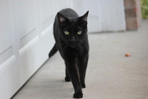Vì sao mèo đen mang lại điềm xui xẻo?