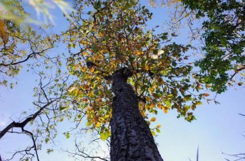 Rừng khộp Tây nguyên mùa thay lá trong vườn quốc gia Yok Đôn