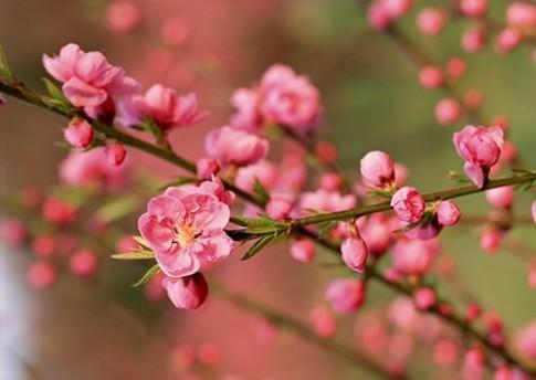 Công dụng chữa bệnh tuyệt vời của các loài hoa mùa xuân