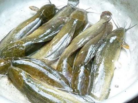 Làm sạch nhớt cá trê, khử mùi tanh của tôm