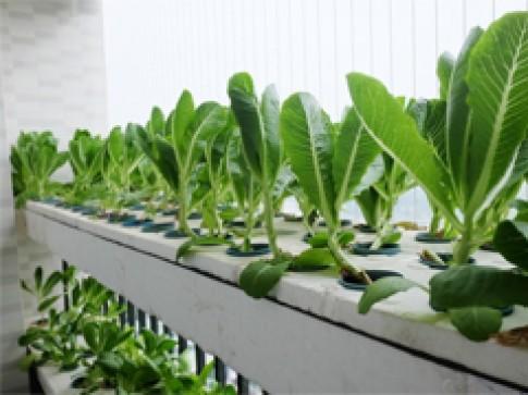 Làm sao trồng hành nhanh thu hoạch