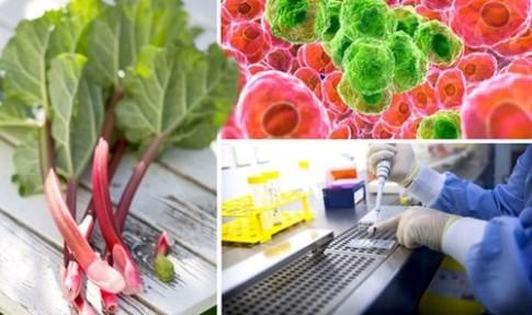 Loại cây tiêu diệt sự phát triển của tế bào ung thư chỉ trong 2 ngày