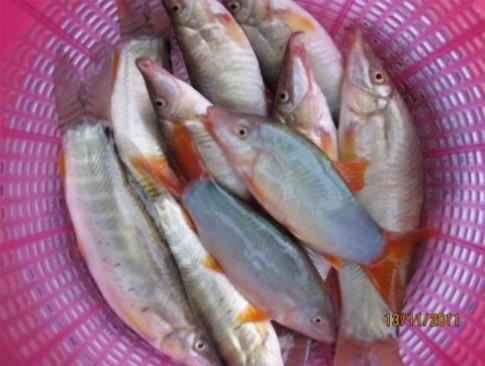 Mùa nước nổi về miền Tây thưởng thức cá heo kho tộ