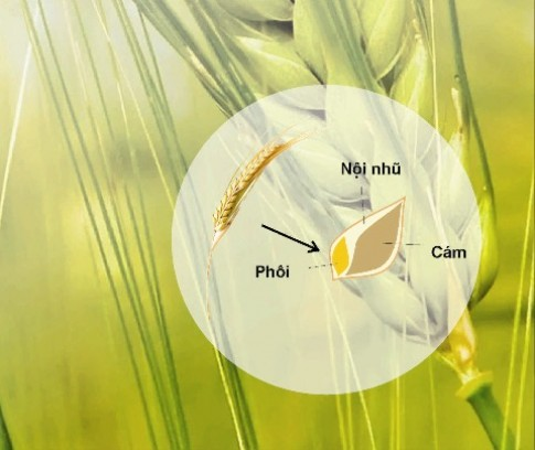 Wheat Germ - Quà tặng giàu dinh dưỡng từ thiên nhiên