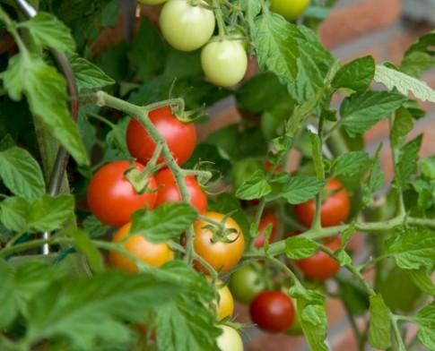 10 bí quyết trồng cà chua tại nhà mau lớn