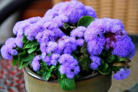 3 loài hoa đẹp đuổi muỗi 'cực đỉnh'