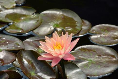6 bước trồng hoa Súng cực 'đỉnh'