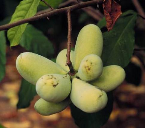 Dân Mỹ phát sốt với giống chuối hình xoài