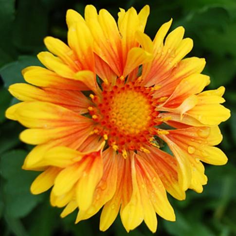 Mẹ Tây trồng hoa gì vào mùa hè?