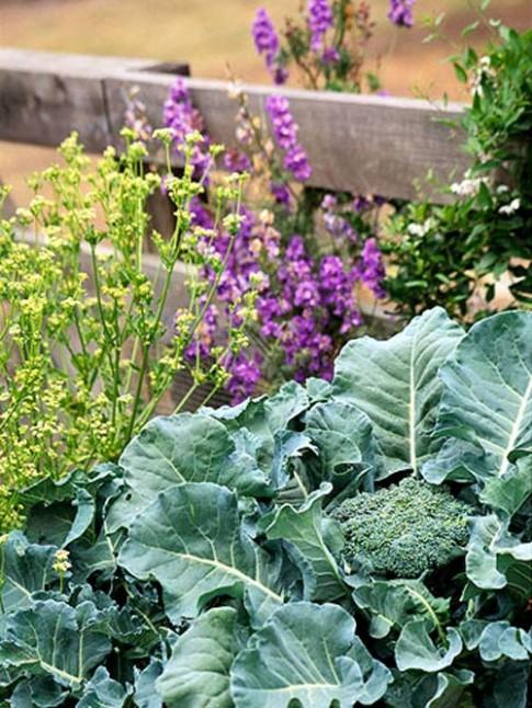 Rau sạch mùa lạnh dễ trồng chỉ 2 tháng