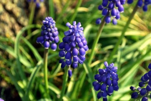 Trồng hoa chuông xanh chào xuân rực rỡ