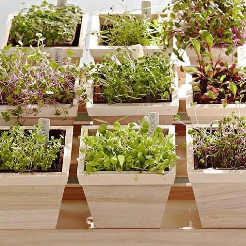 Tự trồng rau mầm ngắm chán thì 'xơi'