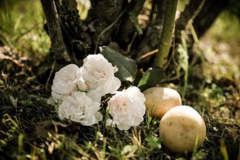 1 tuần trồng hồng lớn nhanh, hoa nhiều nhờ khoai tây