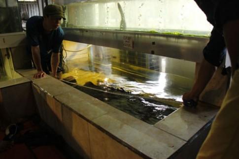 Cá mú nghệ siêu khủng, dài 1m6 bơi lượn ở Sài Gòn