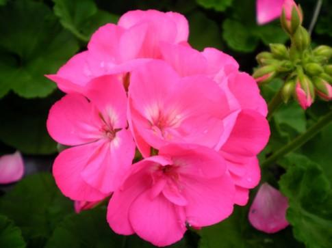 Cách trồng và chăm sóc phong lữ thảo cho đông ấm áp