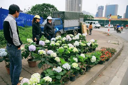 Cẩm tú cầu 40.000 đồng tràn ngập khắp phố phường