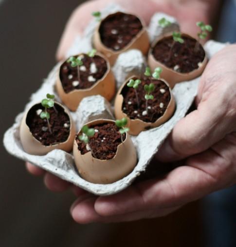 Chị em thích mê trồng cây nhanh, rẻ bằng vỏ trứng