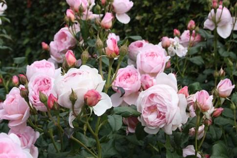 Da trắng hồng nhờ các loài hoa