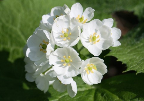 Độc đáo hoa trắng chuyển trong suốt khi trời mưa
