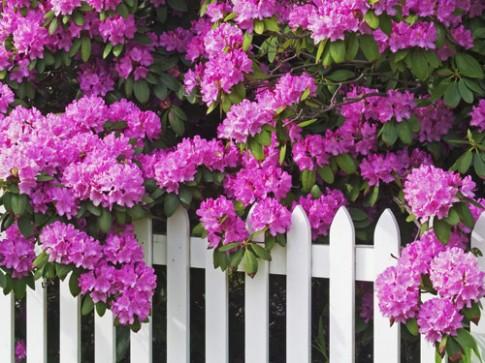 Hoa, cây cảnh chứa độc đe dọa sức khỏe