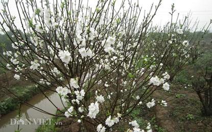Hoa đào trắng tinh khiết sẽ xuất hiện tại chợ hoa Thủ đô