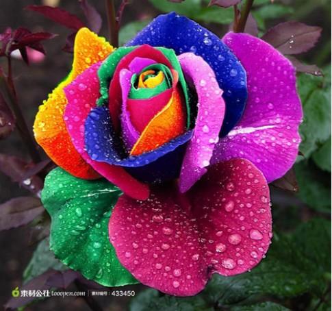 Không cần bỏ triệu đồng có ngay hoa hồng bảy sắc
