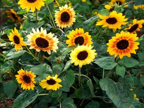 Kiếm hạt trồng hoa hướng dương làm cảnh