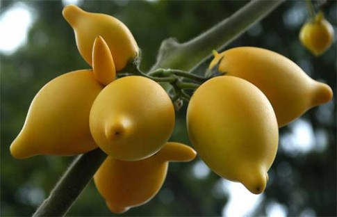 Lạ kì cây cà ra trái giống bầu nhũ hoa