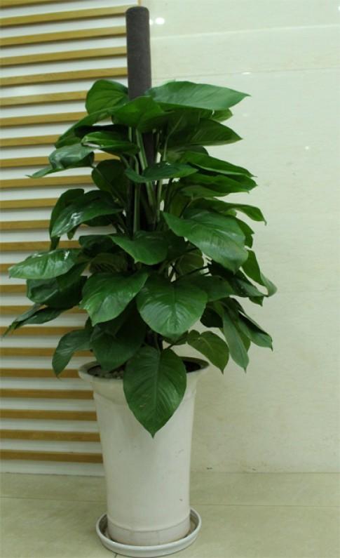 Lưu ý phong thủy khi trồng hoa trong nhà