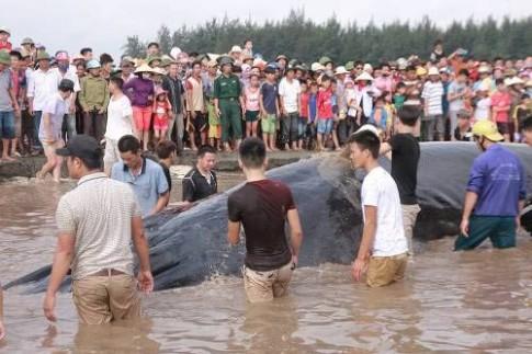 Lý giải nguyên nhân cá voi hơn 10 tấn mắc cạn ở Nghệ An