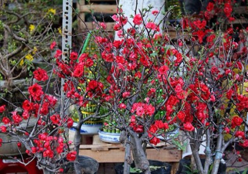 Mai đỏ bày bàn, khoảng trăm ngàn một cây