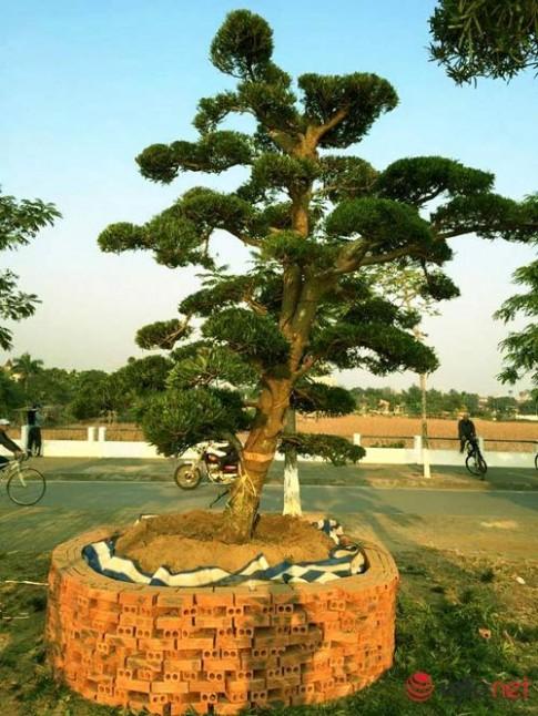 Ngắm vườn tùng bạc tỷ lớn nhất Hà Nội