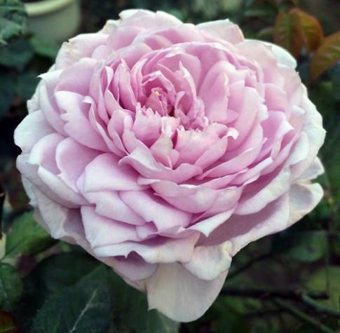 Ngất ngây trước vẻ đẹp của các loại hoa hồng