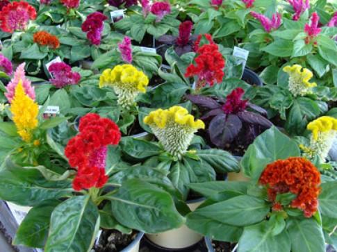 Những loại hoa dễ trồng, dễ sống khi Đông đến