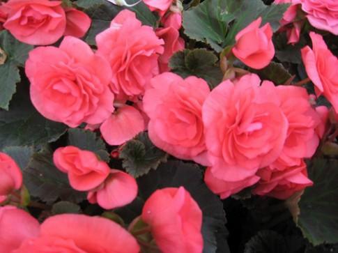 Những loài hoa thích hợp trồng trong giỏ treo