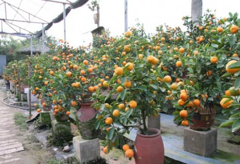 Quất bonsai tiền triệu cho dân sành điệu mê cây