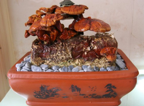 Tết này 'sốt xình xịch' nấm linh chi đỏ bonsai