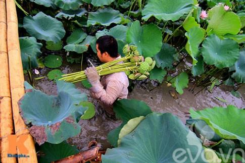 Theo hạt sen từ đầm ra tới chợ