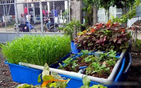 TP.HCM: Vườn rau mỡ màng phát triển không cần đất