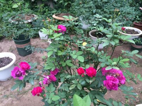 Trăm loại hồng khoe sắc trong khu vườn đô thị