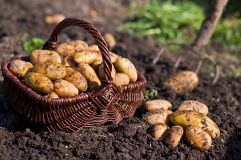 Trồng khoai tây tại nhà 'dễ như bỡn'